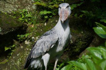 伊豆シャボテン動物公園のハシビロコウの画像