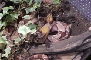 茶色いヘビ