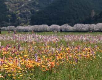 那賀川沿いの桜並木と花畑