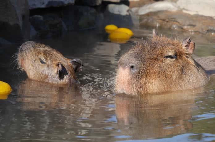 伊豆シャボテン公園 風呂に漬かるカピバラ