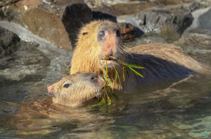 温泉に浸かりながら笹の葉を食べるカピバラ